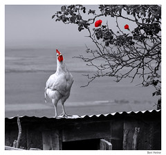 Tender Chicken (Ben Heine) Tags: africa travel light red wild pet sun flower art chicken love nature animals composition pose season landscape photography countryside blackwhite model poem colours photographie time nikond70 kenya earth geometry lumire couleurs magic details breath peaceful philosophy manipulation cock calm oxygen illusion harmony poet passion planet terre rooster spirituality poule wisdom conceptual capture hen paysage retouch enhancement sauvage kleuren jambo rift oxygne respirer digitalshot benheine godspaintings nostrobistinfo tenderchicken nickhilton hubertlebizay hubzay flickrunited