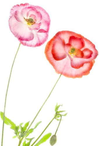 Poppy Duet