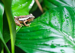 "Van2011 - aquar - spotted reed frog • <a style=""font-size:0.8em;"" href=""http://www.flickr.com/photos/30765416@N06/5803475934/"" target=""_blank"">View on Flickr</a>"