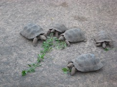 Little tortoises eating...will have to upload video when I have more bandwidth.