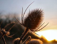 Teasel (torimages) Tags: uk autumn england mist misty sunrise frost thistle glastonbury atmosphere somerset frosty autumncolours sd teasel allrightsreserved teazle teazel flickrsbest anawesomeshot donotusewithoutwrittenconsent copyrighttorimages