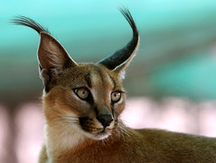 caracal eyes (AnyMotion) Tags: 2005 africa travel fab cats nature animals cat southafrica reisen bravo searchthebest ngc npc afrika 1000v100f ems rs soe sdafrika caracal rsa caracalcaracal anymotion parkstock cotcmostfavorited 200faves bej specanimal karakal portraitaufnahmen mywinners abigfave anawesomeshot superbmasterpiece frhwofavs platinumheartaward betterthangood goldwildlife onephotoweeklycontest unlimitedphotos 100commentgroup ubej reflectyourworld phvalue wildcatworld flickrsfinest100faves bestofblinkwinners
