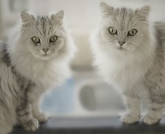 Is it Christmas yet? (Ben124.) Tags: cats white longhair whitecats persians cc200 superbmasterpiece lmaoanimalphotoaward photofaceoffwinner chinchillapersians theperfectphotographer pfogold cwccdec lofcal08 fotocompetition fotocompetitionbronze