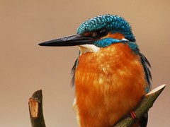 Guarda Rios // Kingfisher (jvverde) Tags: bird nature birds natureza pssaro aves ave kingfisher birdwatching pssaros avifauna commonkingfisher alcedoatthis naturesfinest guardarios wildbird gueda animalkingdomelite pateiradefermentelos avianexcellence bfgreatesthits theperfectphotographer