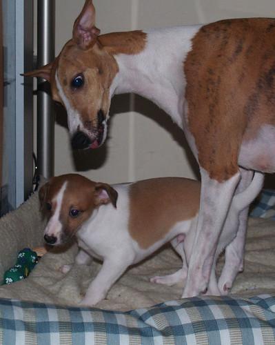 Whippet puppy 6 weeks old: Animagi's Armadillo & Nisha