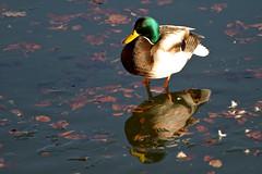 Ducks at Bärensee