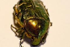 Rosenkfer3 (emi1988) Tags: macro green nature rose canon bug insect eos golden fly close natur beetle retro adapter grn makro chafer kfer 28105 rosenkfer scarabaeidae cetonia specanimal aurata 400d rosebeetle scarabaeoidea cetoniidae blatthornkfer