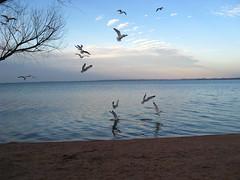 IMG_0195 (caro_801) Tags: texas gulls feedingthebirds lakebuchanan