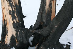 Feet (MaureenShaughnessy) Tags: wood trees winter snow forest montana seasons branches helena burned wildfire treetrunks comingback springmeadowlake earthisalive whatwillcome treebodies theyarelikeus notbarrennotsad