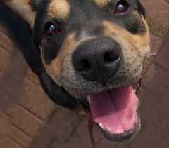 """My Hero (A face full O' Happy) (joshcalebwray) Tags: color love dogs photoshop d50 nikon texas pic rottweiler nikond50 adobe l granny tamron northtexas rescuedogs femalephotography photoenhancing ilovemypic joshcalebwray photoshopelements"""" """"photomanipulation"""