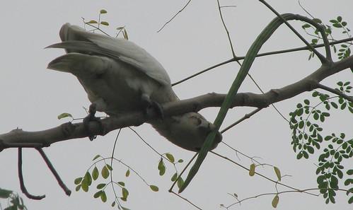 cockatoo Tanimbar corella