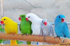 We are one family (matey_88 ( OFF )) Tags: family colors birds neck searchthebest majid maldives matey mohamed fpc blueribbonwinner mywinners platinumphoto superbmasterpiece uniquemaldives theunforgettablepictures simplymaldives theperfectphotographer goldstaraward indianringed