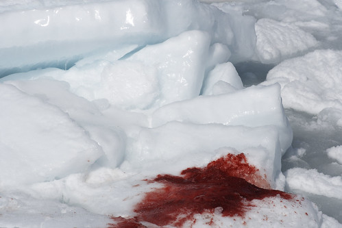 Second Day of Canada's Commercial Seal Hunt