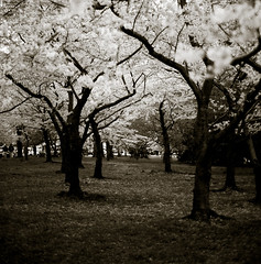 White Forest (bossa07) Tags: trees bw sepia dc washington spring monotone explore cherryblossom sakura d3 tidalbasin interestingness3 firstquality infinestyle