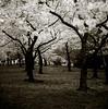 White Forest (bossa07) Tags: trees bw sepia dc washington spring monotone explore cherryblossom sakura d3 tidalbasin interestingness3 firstquality infinestyle
