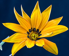 Gazania krebsiana 3, Colorado (sethgoldstein72) Tags: nikon bestofflickr beautifulflowers doublefantasy efeso finegold greatphotographers flowerscolors addictedtoflickr flowersorcrystals flickrphotoaward exemplaryshotsflickrsbest flickrsfantasticflowers platinumstar flickridol dragongoldaward fabulousflora crazyaboutnature djangosmasterclassphotography flowerbudsandblossoms buttergarden exquisiteflowers mimamorflowers qualitypixels flickrbronzeawards awesomeblossoms nikonflickraward flickrflorescloseupmacros ohnonotanotherflower paololivornosfriends doubledragonawards superbestshotsonflickr creativeyeuniverse zensationalworld elclickdenikon crazyaboutnatureawards allaboutflowers aimezvouslesfleurs flickrunitedaward coloursofflowers flickrsgottalent eliteflickridol friendsflickraward flickrshutterspace beautifulflowersandlandscape hennysflowergardens hermosasfloresypaisajes beautifulflowersgallery luizasfabulousphotoclubflickr dagmarsexclusiveflowerparadise floraaroundtheworld qualifiedmembersonlylevel1 thethreeangelslevel1blueangel flickrstruereflection1 flickrsfinestimages1 madaboutflowers pazziperifiori flickr fiorigialliyellowflowers