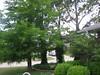 Trees-Bald-Cypress-Slash-Pine002