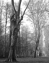 allée arborée - parc de Schoppenwihr - Alsace (JJ_REY) Tags: alléearborée treelinedalley schoppenwihr parc bw largeformat 4x5 fuji neopanacros100 rodinal toyofield 45a rodenstock sironarn 150mmf56 epson v800 benwihr alsace france