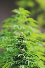 Lovely mmj  #legalizeit #legalizemarijuana #growtheeconomy #weedstagram420 #weed #cannabiscommunity #freedom #cannabis #spliff #grow #cannactivist #sensi #regulate #marihuana #marijuana #kush #amnesia #legalizepotnow (Canna-photography) Tags: legalizepotnow cannabis freedom cannabiscommunity weed growtheeconomy weedstagram420 legalizeit spliff marijuana kush amnesia marihuana sensi grow legalizemarijuana cannactivist regulate