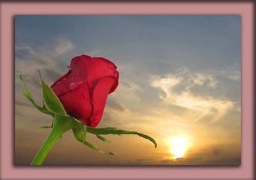 rosas de amor. ROSA DE AMOR