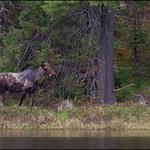 Moose thumbnail