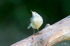 At_tenti ! (maxpina) Tags: birds wildlife natura uccelli 400f56l 1dmiii sullattenti ballerinagialla flickaward pesiopiccolo