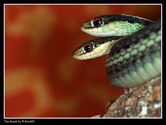 Two heads ( Pere Soler) Tags: two macro bravo head snake reptil lloretdemar serpiente serp naturesfinest blueribbonwinner greatphotographers magicdonkey allrightsreserved flickrsbest mywinners mywinner diamondclassphotographer megashot planetareptil macrofoted braid44 bestofmf theperfectphotographer thamnophissauritus peresoler