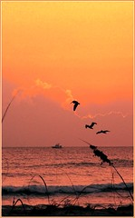 Sunrise with pelicans, 11th Street South (shortysbanks) Tags: pelicans sunrise palms surf florida seaoats cocoabeach fujis800 commercialboat