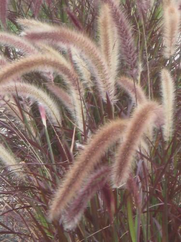 Moor grass
