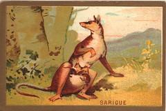 sarigue