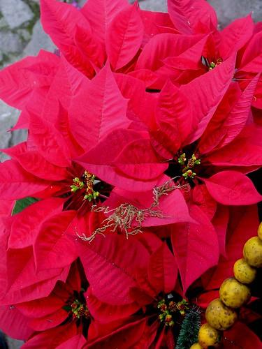 Guatemala Christmas Plant