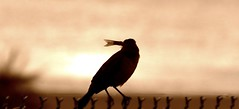 Bird and Fish (minds-eye) Tags: sunset food fish bird nature water animals breakfast dinner sunrise fence lunch nest beak claw hungry mockingbird guana gtmnerr