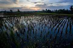 Ubud - Bali (Aur from Paris) Tags: travel flowers sunset bali tree nature water colors clouds indonesia landscape asia rice terraces fields asie ricefields indonesie paddyfields ubud canoneos5d digitalblending aur