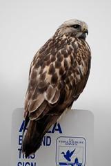 Rough-legged Hawk DSC_0137 (NDomer73) Tags: bird december hawk raptor 2007 roughleggedhawk ridgefield ridgefieldnationalwildliferefuge ridgefieldnwr 27december2007