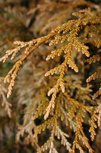 False Cypress? Japanese Garden, BBG