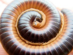 South African millipede (cocomicchi) Tags: africa macro nature insect southafrica millipede cienpies