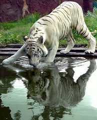 thirsty (tropicaLiving - Jessy Eykendorp) Tags: park wild bali cats india white reflection nature animal fauna cat indonesia geotagged photography zoo asia wildlife tiger super panoramic exotic endangered bengal thirsty whitetiger ubud supercat exoticanimal exoticcat whitebengaltiger gianyar endangeredanimal tropicaliving balisafarypark tropicalivingtropicallivingtropicalliving panasoniclumixdmcfz8panasoniclumixdmcfz8 jessyce geo:lon=115157318 geo:lat=8817225