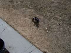 Jinx outside (bonkrood) Tags: puppy jinx chorkie