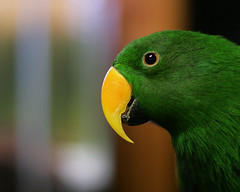 Pico (dark orange) Tags: parrot karen pico pete eclectus