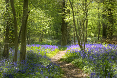 Bluebell Woodland, Wye Valley. (wentloog) Tags: wood uk blue tree nature wales forest canon woodland eos interestingness gallery britain cardiff explore 5d bluebell wfc tinternabbey tintern wye wyevalley bluebellwood canoneos5d ef24105f4l wentloog welshflickrcymru stevegarrington
