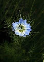 Nigella arvensis (-CyRiL-) Tags: detail macro fleur bleu vegetal flore nigella grosplan flowerscolors nigelle cyrilbklfav cyrilbkl