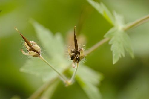 Geranium phaeum - Donkere ooievaarsbek (rijpe zaden)