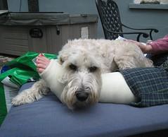 Barkley and the cast (Deluxx) Tags: dog chien cute broken perro hund cast wheatenterrier ankle barkley wheaten hessosweet