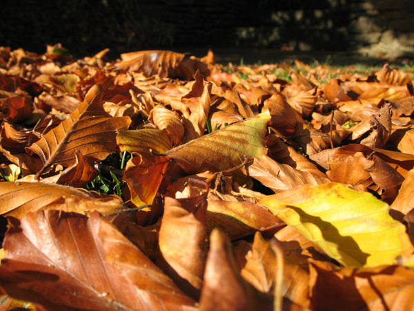 Fallen beech leaves