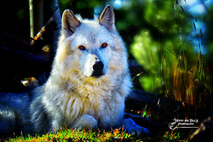 TOGETHER ... (Aspenbreeze) Tags: wolf wolves wildanimal wildlife animal nature whitewolf graywolf aspenbreeze moonandbackphotography bevzuerlein wyomingwildlife coloradowildlife