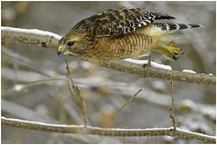 red-shouldered hawk (Christian Hunold) Tags: redshoulderedhawk buteolineatus hawk raptor birdofprey rotschulterbussard johnheinznwr philadelphia christianhunold