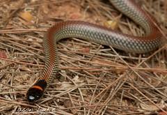 Furina diadema (jasonluke2) Tags: furina diadema rednaped snake reptile