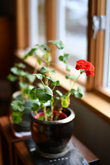 Geranium (l i v e l t r a) Tags: 58mmf14g f14 nikkor fx geranium plants houseplants indoor red leaves green copper pot container window light lighting daytime delicate bokeh smooth blur natural stem sill dreamy