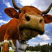 cow image, photo or clip art