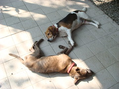 the very picture of happiness (Yugan Dali) Tags: dog beagle taiwan   wulai taiwandog  yumin taiwanaboriginedog byajing  ulay taiwantugo